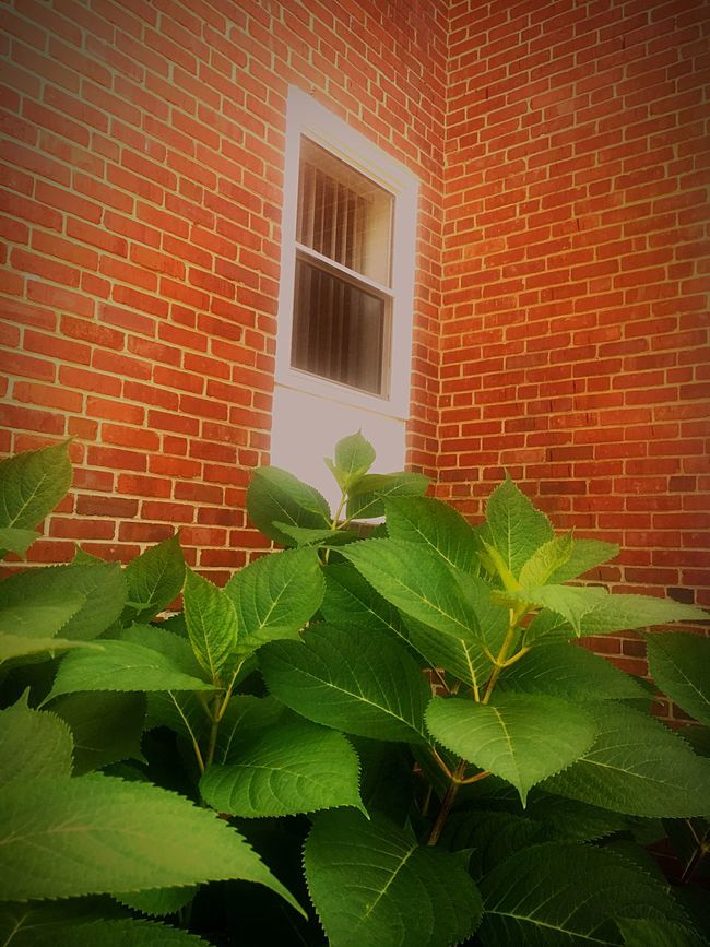 Fine Art Photography Brick Wall Green Green Plant Beauty Nature Nature_collection Nature Photography Green Leaves Leaves Leaves🌿 Nature On Your Doorstep Naturelovers Green Leaves. Green Nature Green Color Leaves_collection