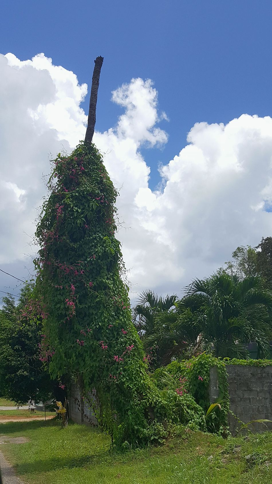 Nature Chillipepper Shaped Coconut Tree Vines On Trees