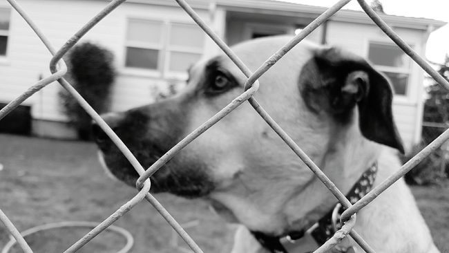 he looks like he could be an ASPCA commercial but it was actually very happy dog Not Looking Canine No People Profile Black And White Dog Pouting Animals Fence Locked In Mutts Behind Pet Me Companion