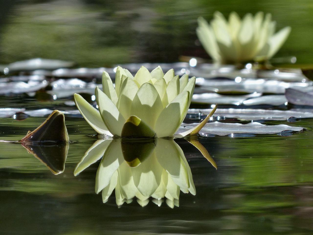 A water lily flowering in the water garden of Preston park, Brighton - August 2015. Brighton East Sussex England Lily Preston Park Reflections Reflections In The Water Vanilla Flower Water Lily Water Reflections