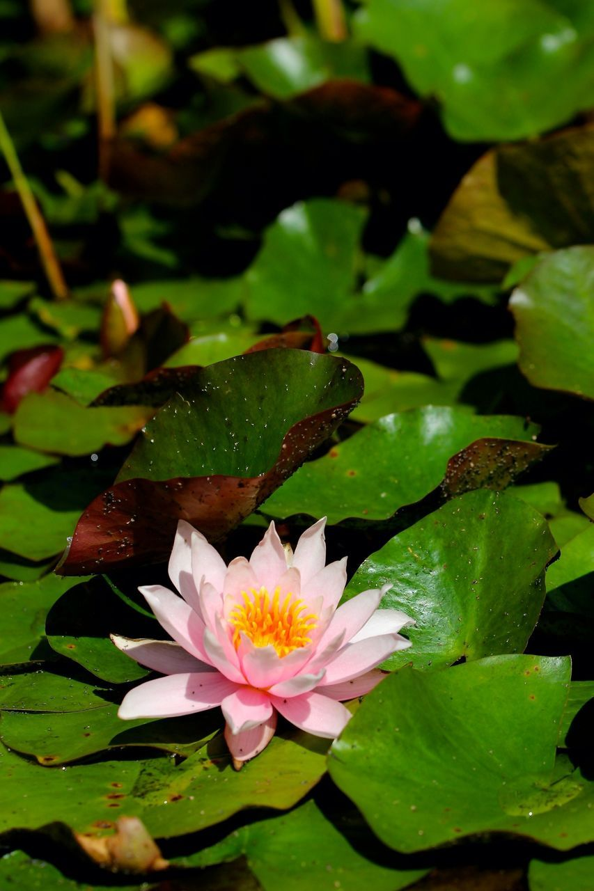 Close-up of pink lotus blooming