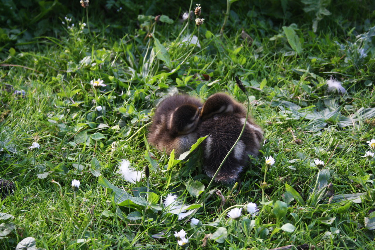 Animal Themes Animal Wildlife Animals In The Wild Babies Cuddle Day Ducklings Grass Kew Gardens London Mammal Nature No People Outdoors Siblings
