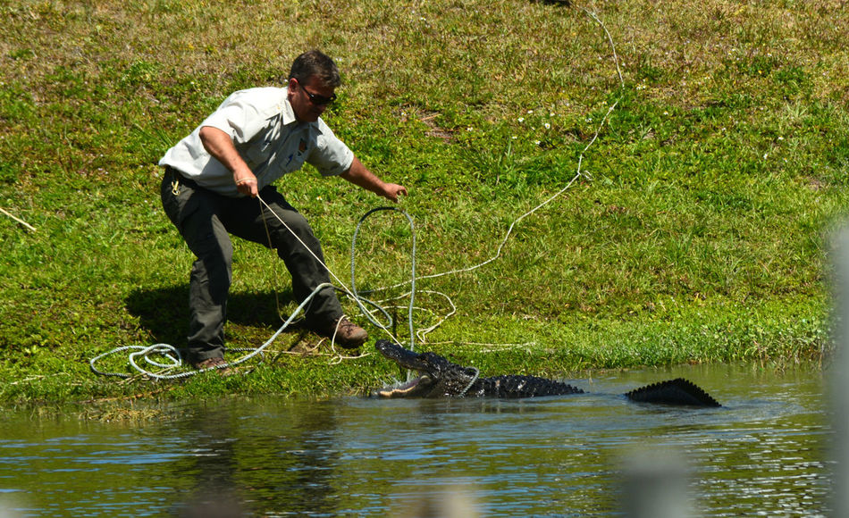 All In A Days Work Alligator Alligators Capture The Moment Captured Moment Catching Caution Everglades  Florida Gator Lake Nature Nuisance Outdoors Relocating Relocation Removal Remove Reptile Reptiles Water Wildlife Working Young Adult