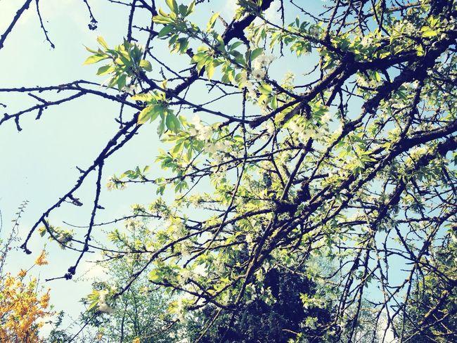 Cherry Blossoms Spring Garden