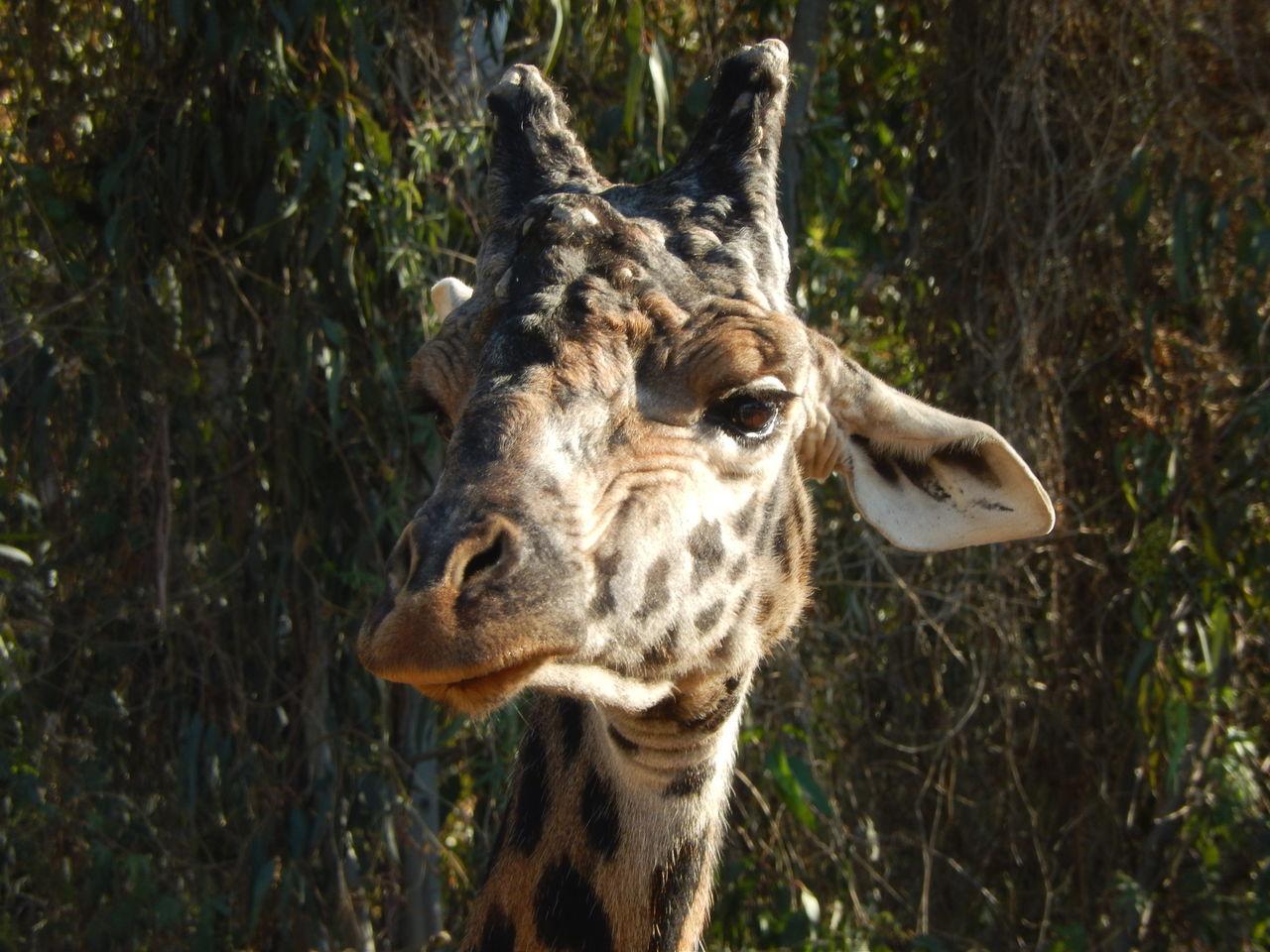 Beautiful stock photos of giraffe, Animal Themes, Animals In The Wild, Day, Giraffe