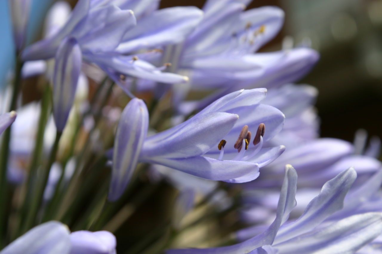 Agapanthus Animal Themes Beauty In Nature Blooming Blue Close-up Day Flower Flower Head Fragility Freshness Garden Growth Insect Nature No People Outdoors Petal Plant Pollination Purple Summer Tropical Plants