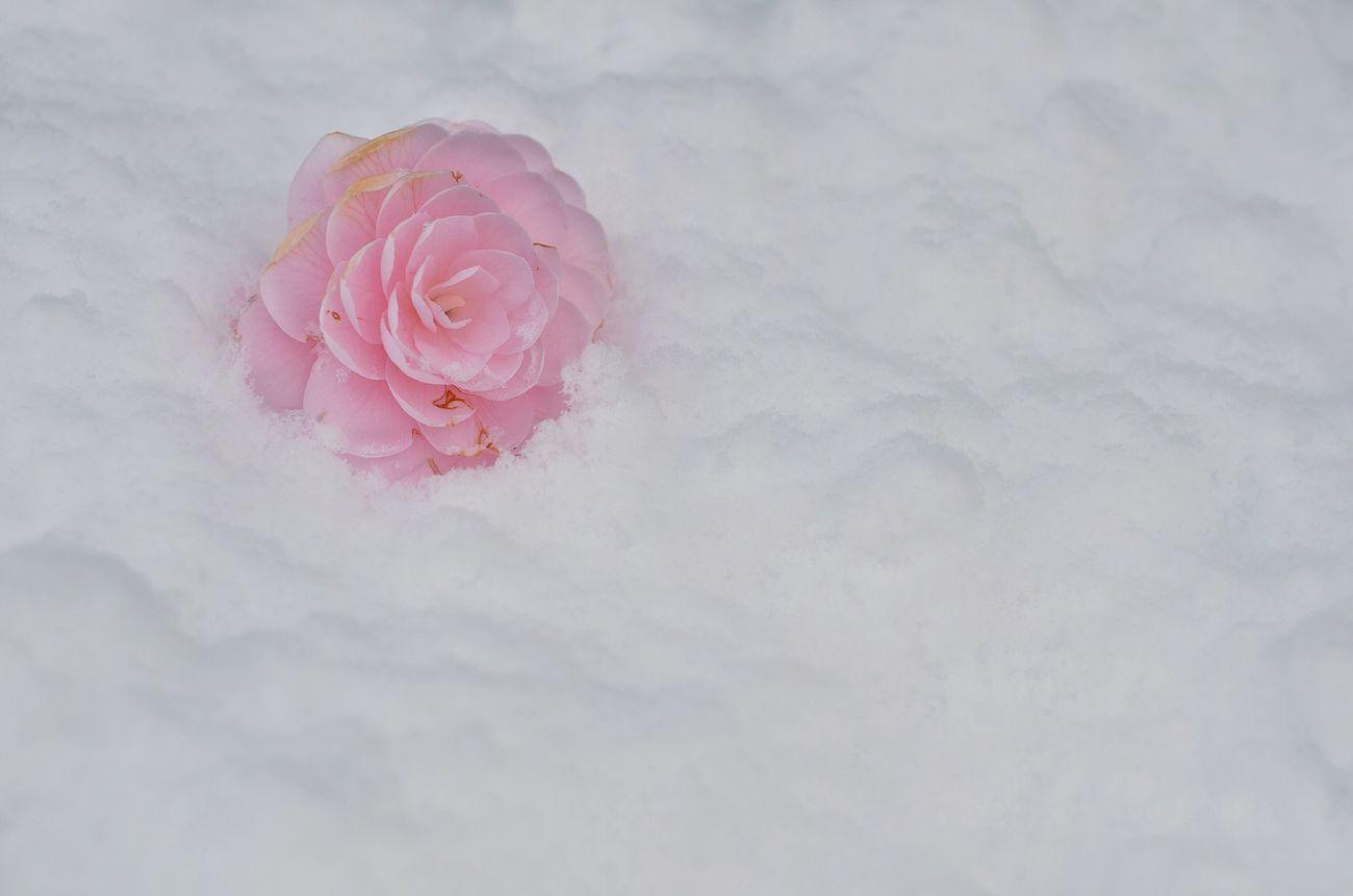 Camellia Pink Snow White