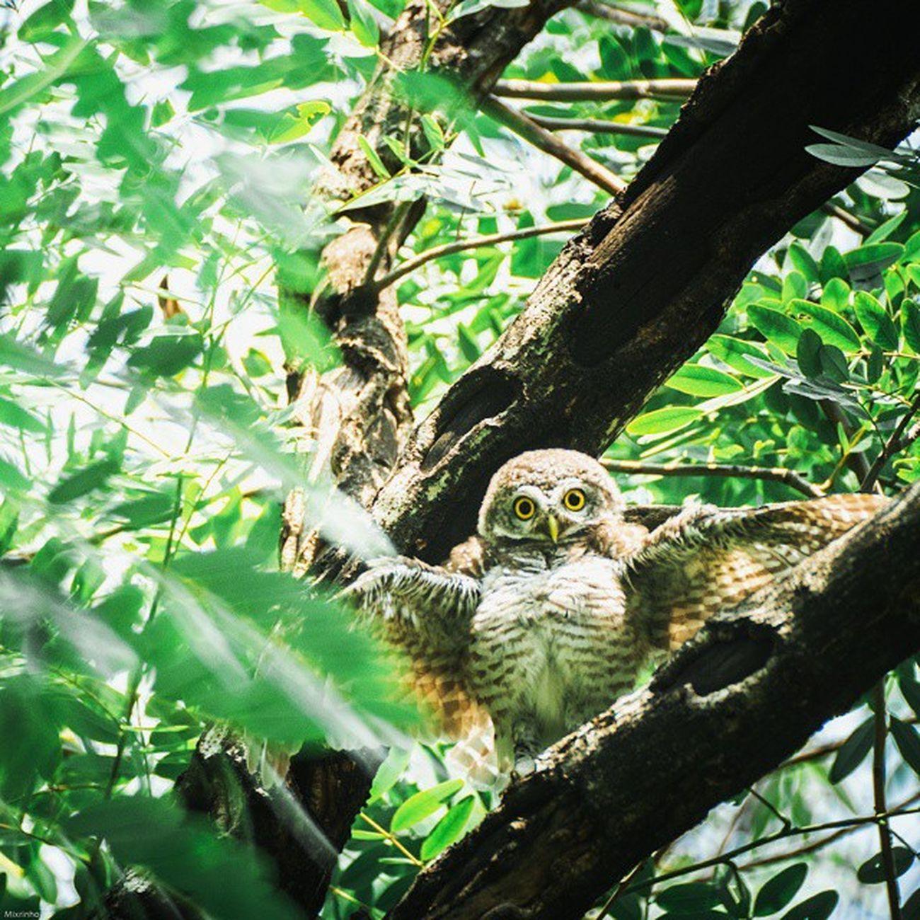 0v0 Vscocam Owl Bird Thailand Rest Amzthld Igersth Wildlifephotography Wild Wildlife Nikonnofilter Nikon 500mm Photooftheday Instagood Cute World_bestshot Wow_animal Wildlifeplate Wildlife_perfection