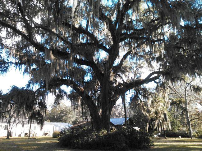 Oak Tree Blue Sky Natural Beauty Nature Photography Trees And Sky