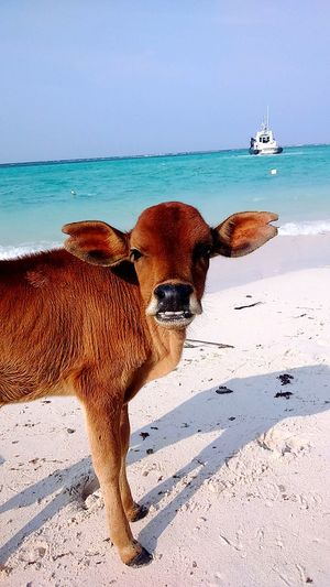 White sandy beach at Pulau Mantanani with rare baby cow ..what a blessings!! Taking Photo EyeEm Nature Lover My Country In A Photo EyeEm Best Shots Hello World EyeEm Malaysia Relaxing Skyporn Beachphotography Colour Portrait