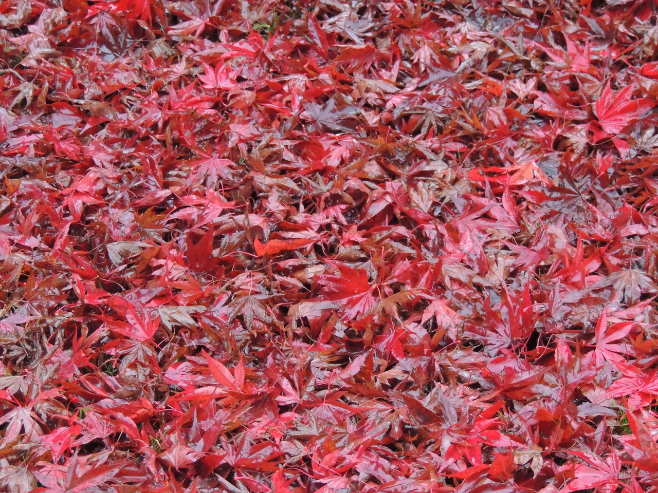 Autumn Autumn 2016 Autumn Collection Autumn Colors Autumn Colours Autumn Leafs Autumn Trees Autumnbeauty Autumn🍁🍁🍁 Backgrounds Close-up Day Full Frame Leafs Leafs Colors Leafs Photography Leafs 🍃 Leafs. Leafscape Leafseason Nature No People Outdoors Red Red Chili Pepper