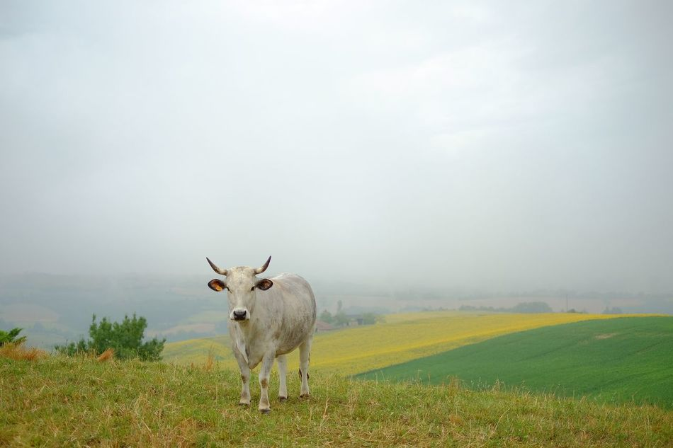 Beautiful stock photos of kühe, Agriculture, Animal Themes, Beauty In Nature, Cold Temperature