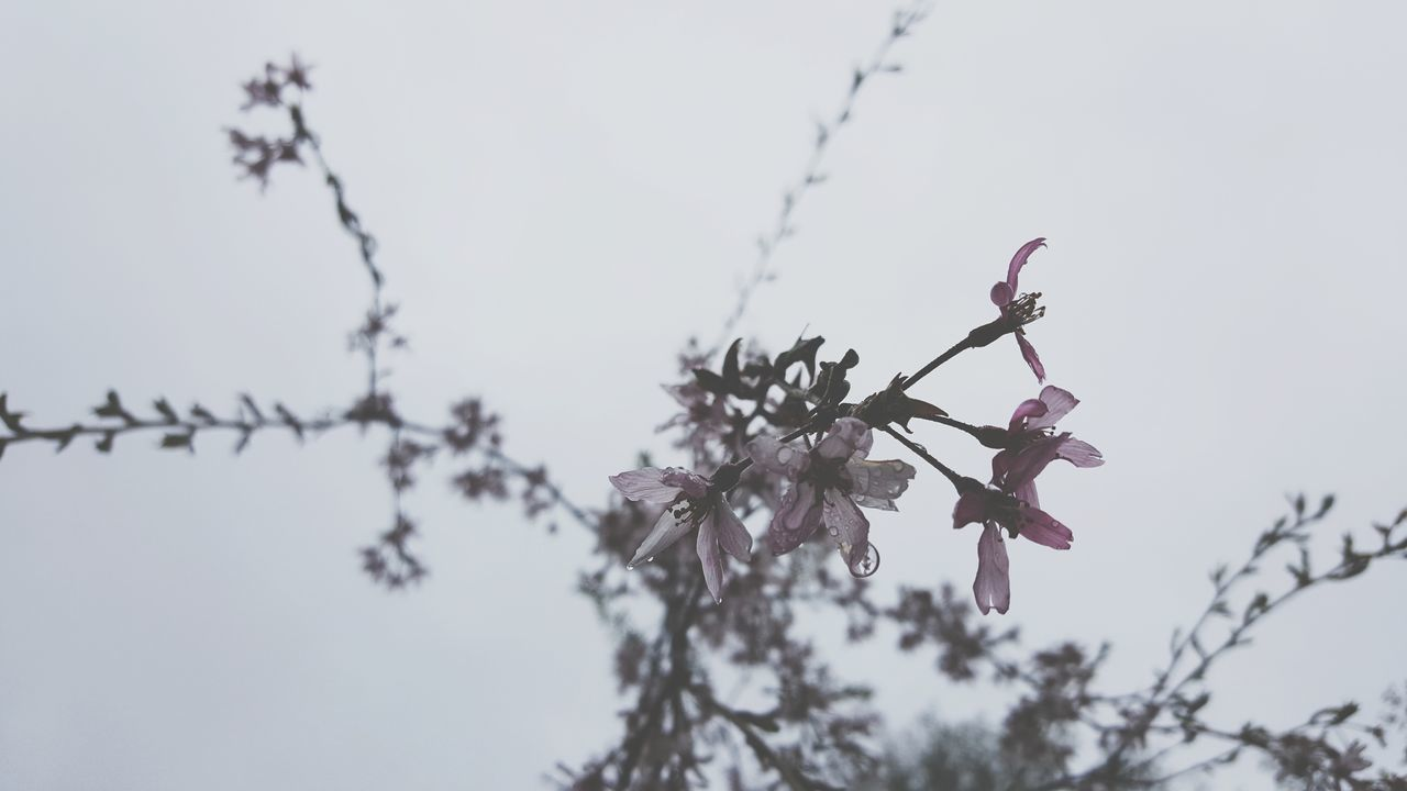 More fresh, more buds. Day Outdoors No People Tree Nature Animal Themes Close-up Spring Trees And Sky Pink Flowers Sky Budding Tree Gray Background Fresh 1 Beauty In Nature Rain Rainy Days