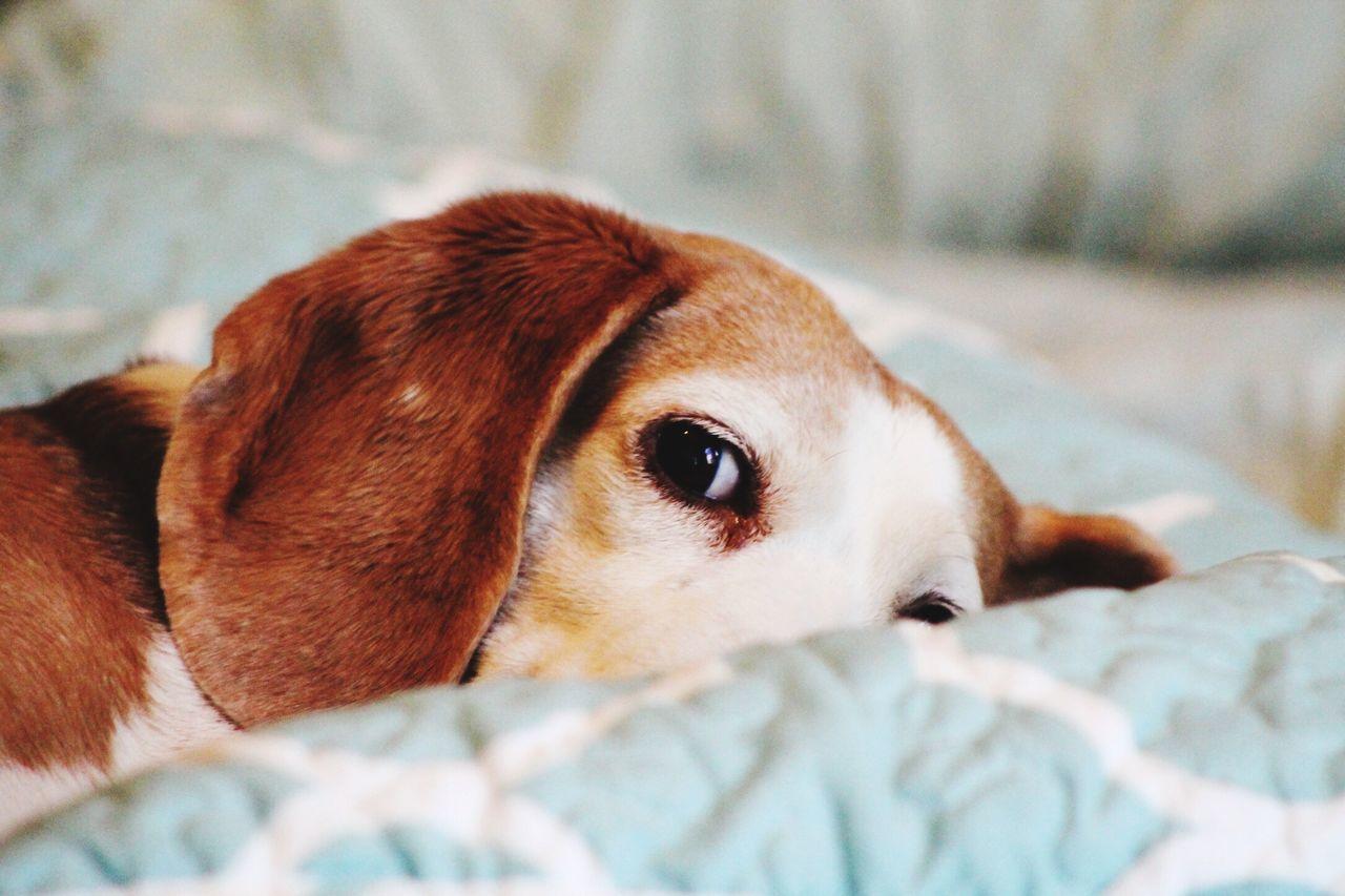 Too Tired Beagle Dog pet Animal pets Canine hound Cute First Eyeem Photo
