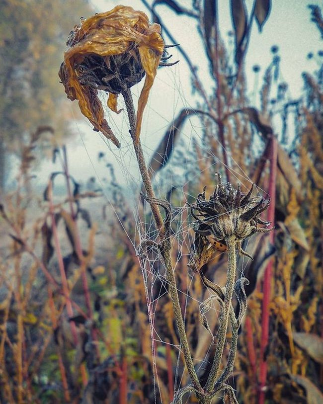 Kapkyrosy Kapky Mocidla Dubnany Rano Beruska Podzim Pavucina Pavouknikde Snadjsemhoneodnesl Top Morning Flower Roseofautumn Picoftheday Canon UltraZoom