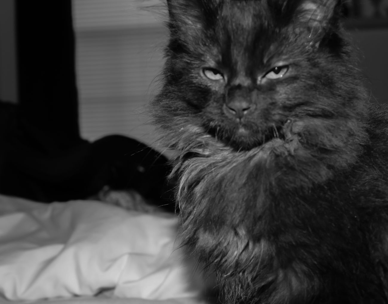 squinted eyes before he fell asleep Black And White Animals Black And White Photography Black Cat Black Cats Black Cats Are Beautiful Bnw_captures Bnw_collection Bnw_friday_eyeemchallenge Close-up Domestic Cat Kitten Pets Portrait Sleepy
