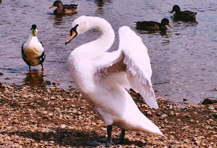 Bird Photography Swan Outandabout Waddle Lookingfabulous