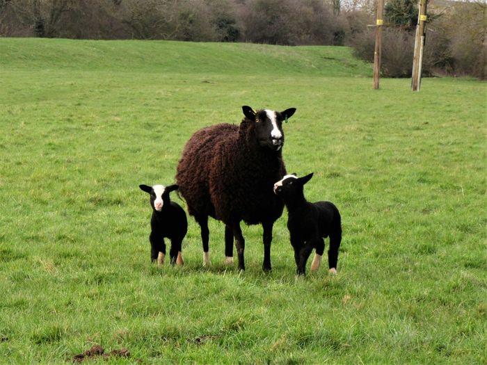 Twin lambs Animal Themes Black Sheep Day Domestic Animals Field Grass Grassland Lambs Livestock Mammal No People Outdoors Pasture Sheep Soay Sheep Twin Lambs