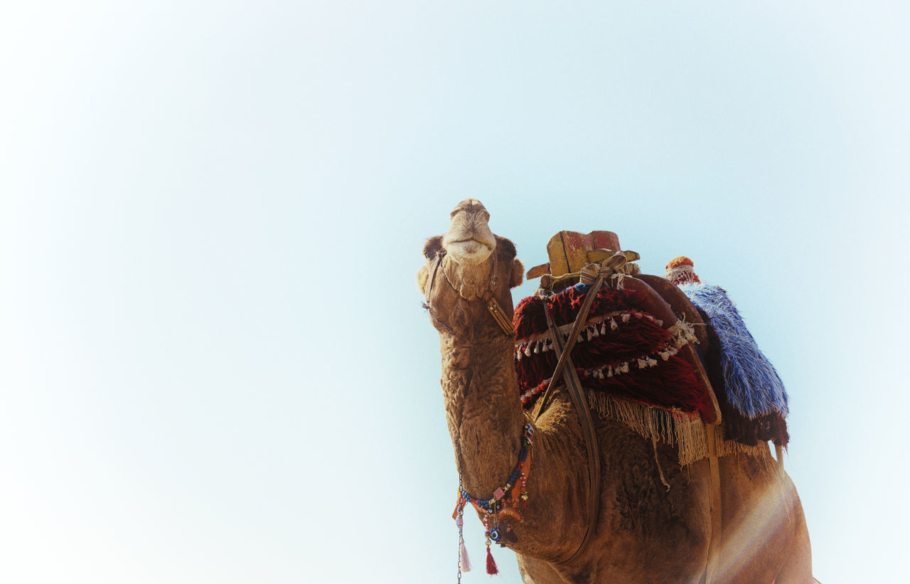 Animal Rides Animal Camel Camel Ride Clear Sky Copy Space Day Human Face Hump Humps Man Made Object Saddle Studio Shot Tourist Attraction  Tranquility