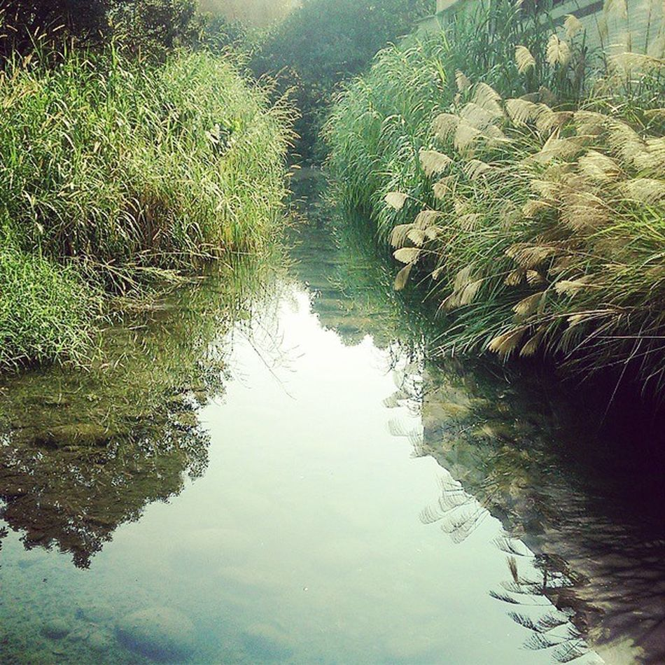 the reflection of silvergrass in the water 芒草茫茫。 Silvergrass Winter Reflection