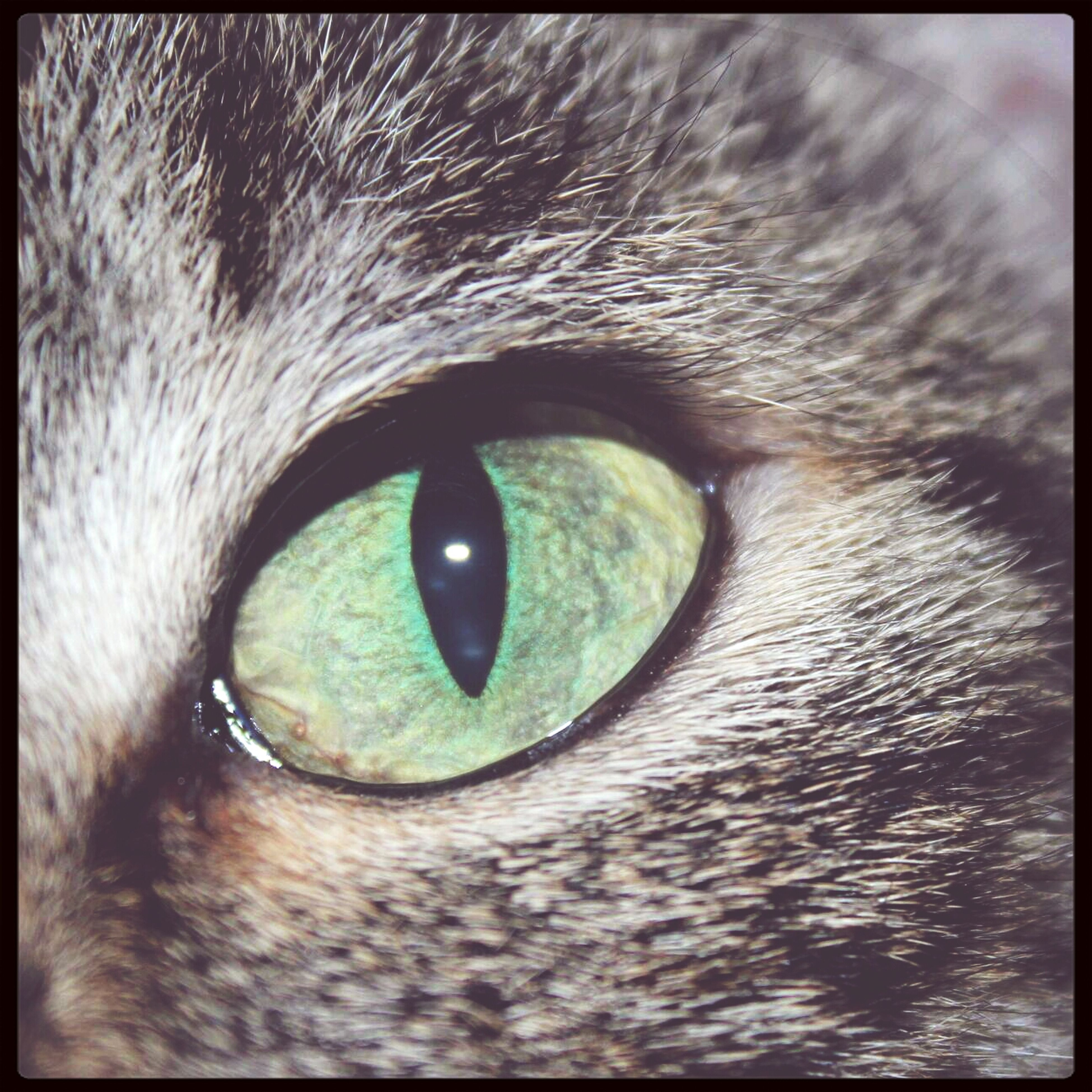 one animal, close-up, pets, transfer print, animal eye, domestic animals, animal themes, part of, auto post production filter, animal head, full frame, extreme close-up, animal body part, extreme close up, mammal, backgrounds, human eye, selective focus, staring, domestic cat