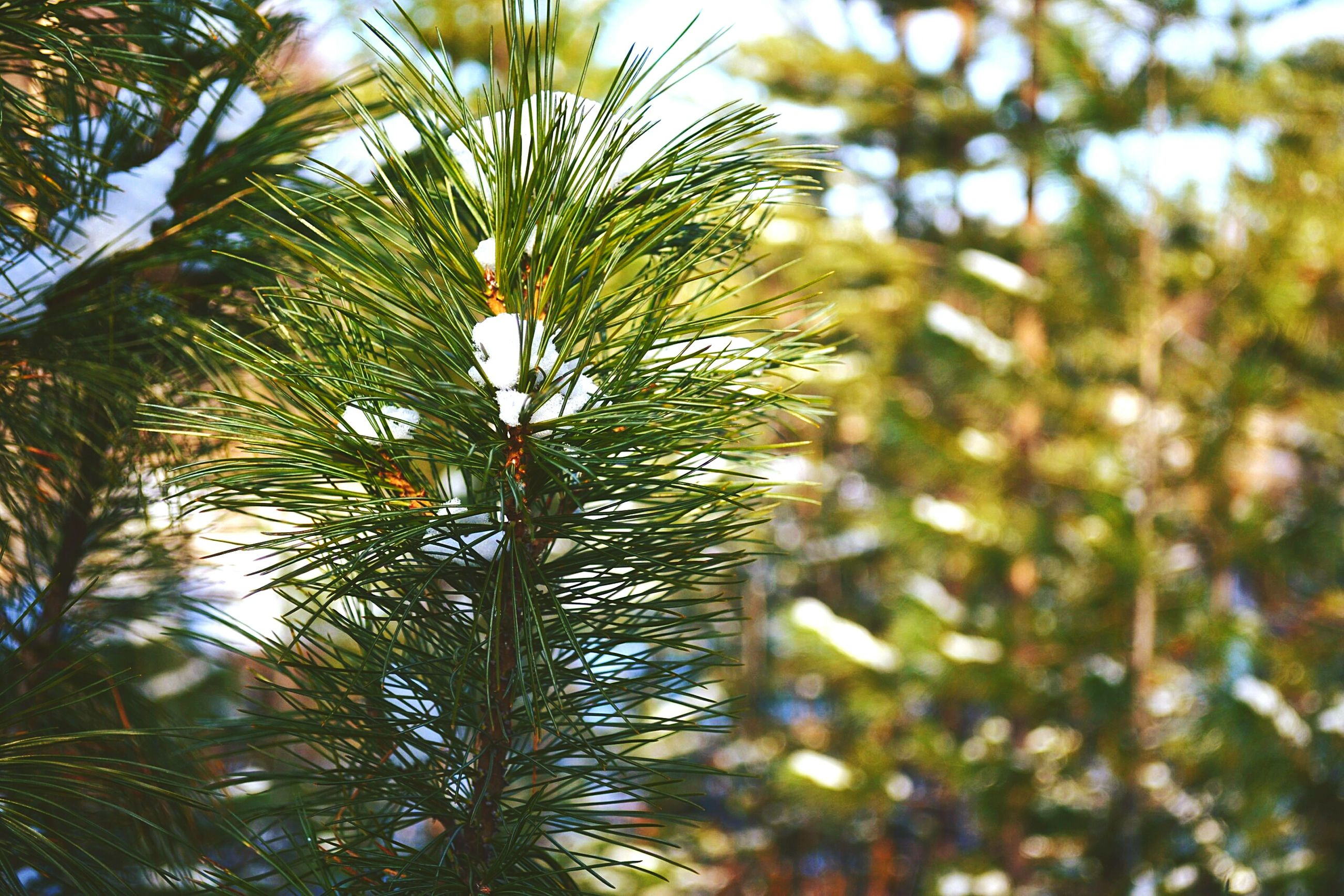 growth, nature, tree, leaf, close-up, low angle view, branch, beauty in nature, green color, tranquility, focus on foreground, plant, freshness, day, sunlight, pine tree, outdoors, no people, growing, selective focus
