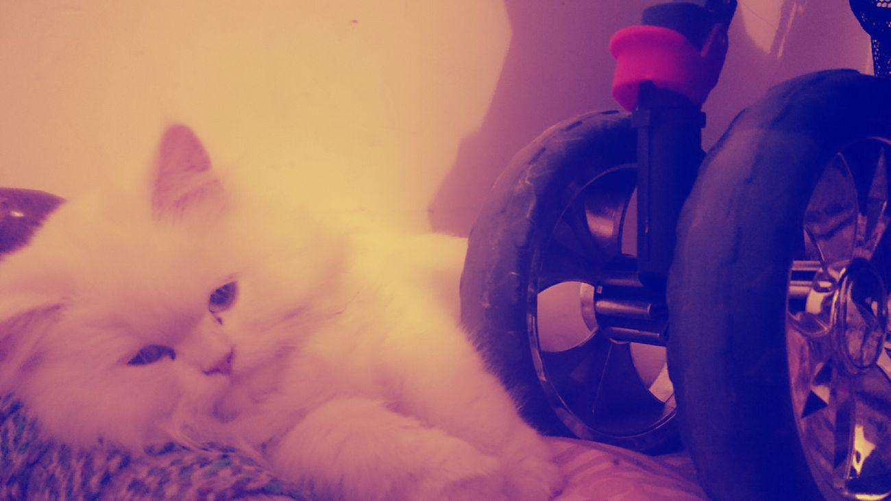 Pet On Wheels Whitey