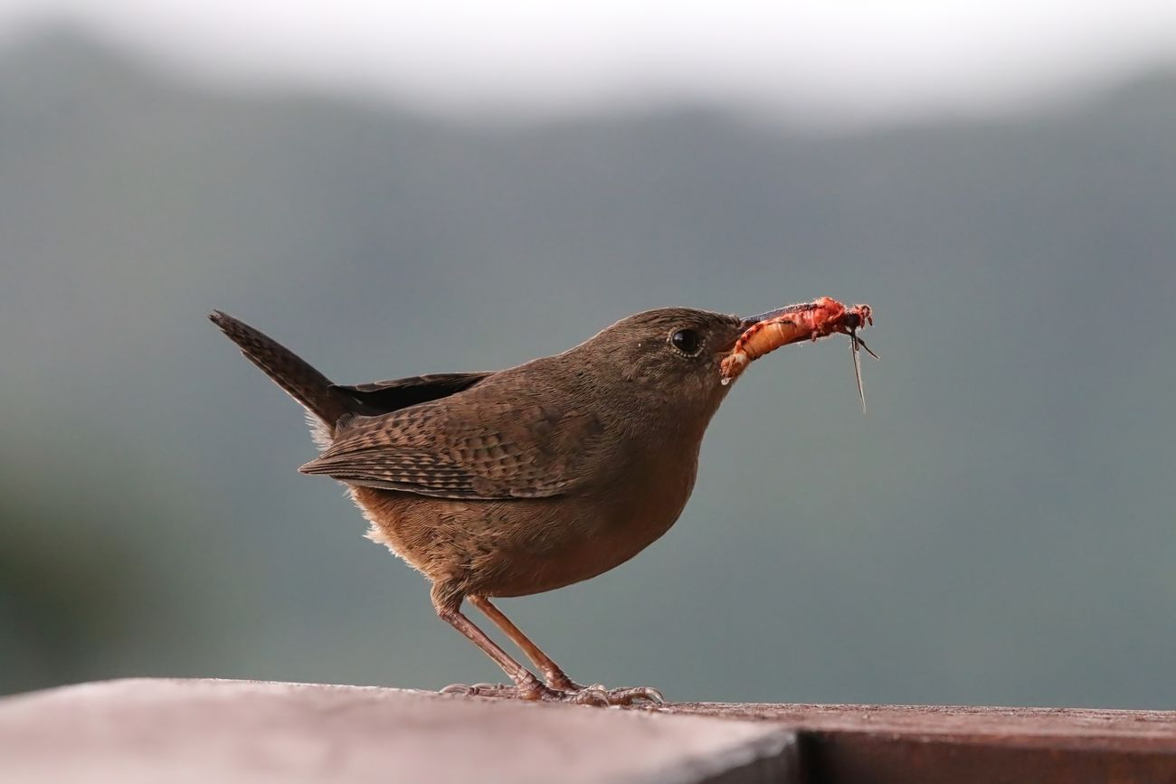 House Wren Animal Animal Themes Animal Wildlife Animals In The Wild Bird Close-up Day Full Length Nature No People One Animal Outdoors Perching Winter