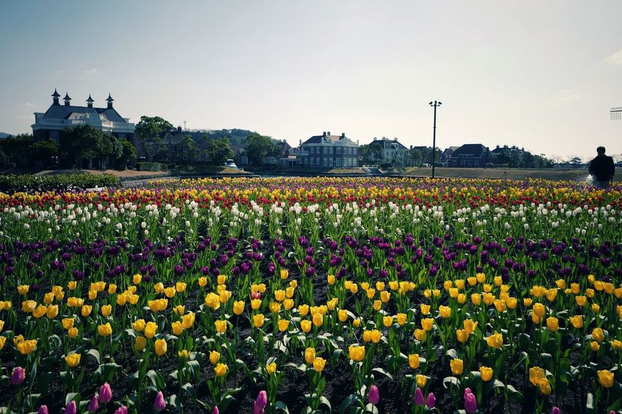 Spring Is Nearly Here : Flowers Tulips🌷 6th February 2017 Landscape Photography Low Position Q Typ116 28mm F/5.6 Colors Of Nature / Wassenaar ハウステンボス HUIS TEN BOSCH, Sasebo City Nagasaki prefecture Japan Photography