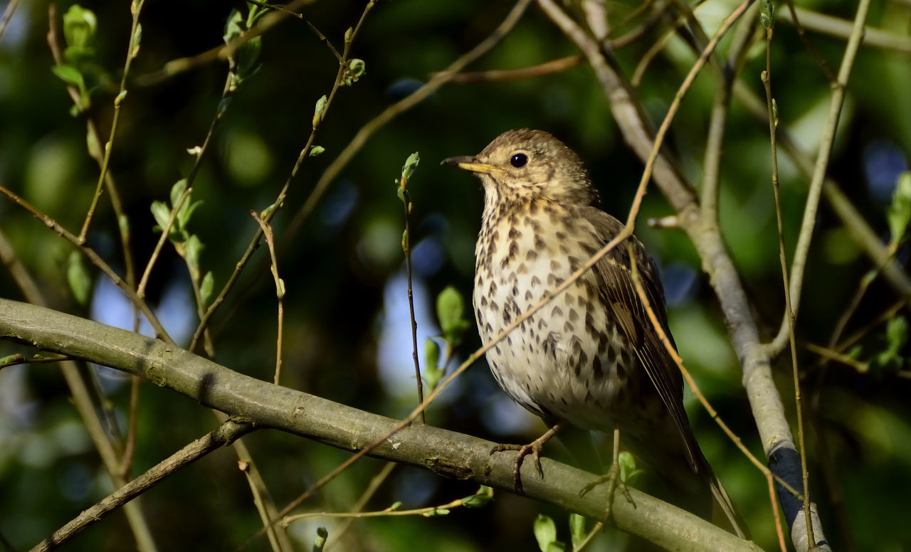 Avian Beauty In Nature Bird Bird Photography Birds Of EyeEm  Birds_collection Branch Close-up Focus On Foreground Nature Nature Photography Nature_collection Perching Selective Focus Song Thrush Turdus Philomelos Wildlife