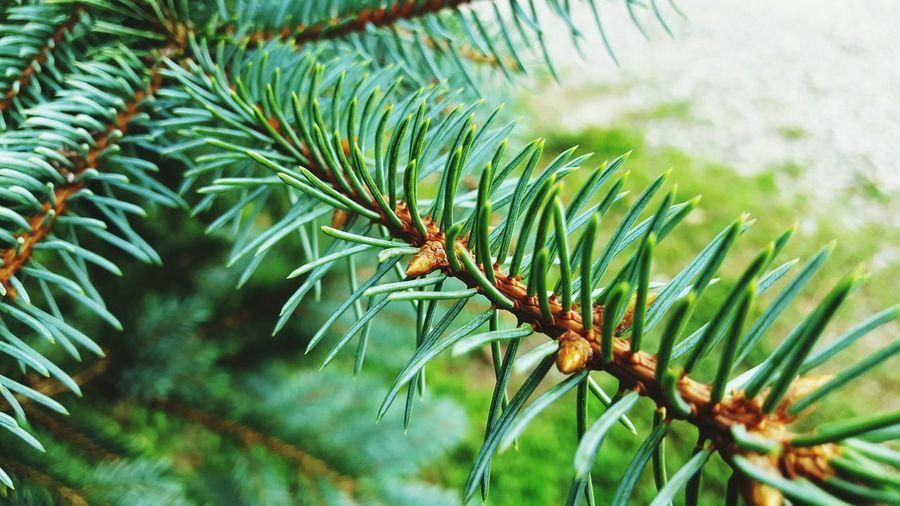 Pine🌲 Pineneedles Nature