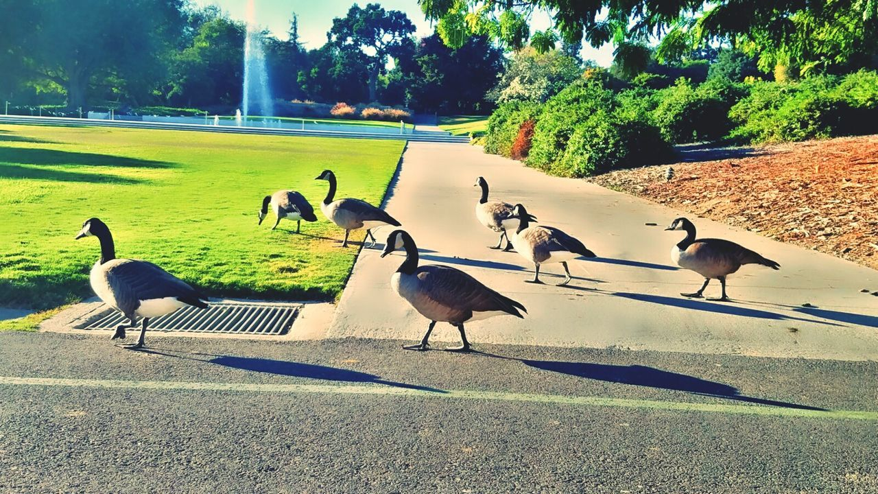 Flock of geese Animals In The Wild Animal Themes Animal Wildlife Large Group Of Animals Tree Grass Outdoors Nature Bird Fountains Plant Geese Family LIFE. Day Green Color Tranquil Scene Sunlight Arboretum Pathway Myphotography. Sky Water Leaf Dark Interesting Plant