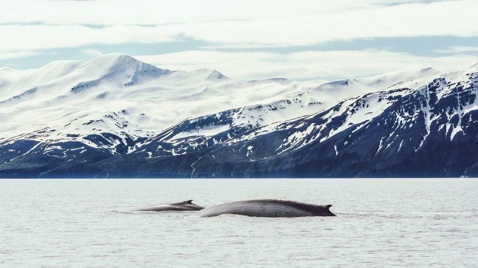 Beautiful stock photos of blue whale, Animal Themes, Animal Wildlife, Animals In The Wild, Beauty In Nature
