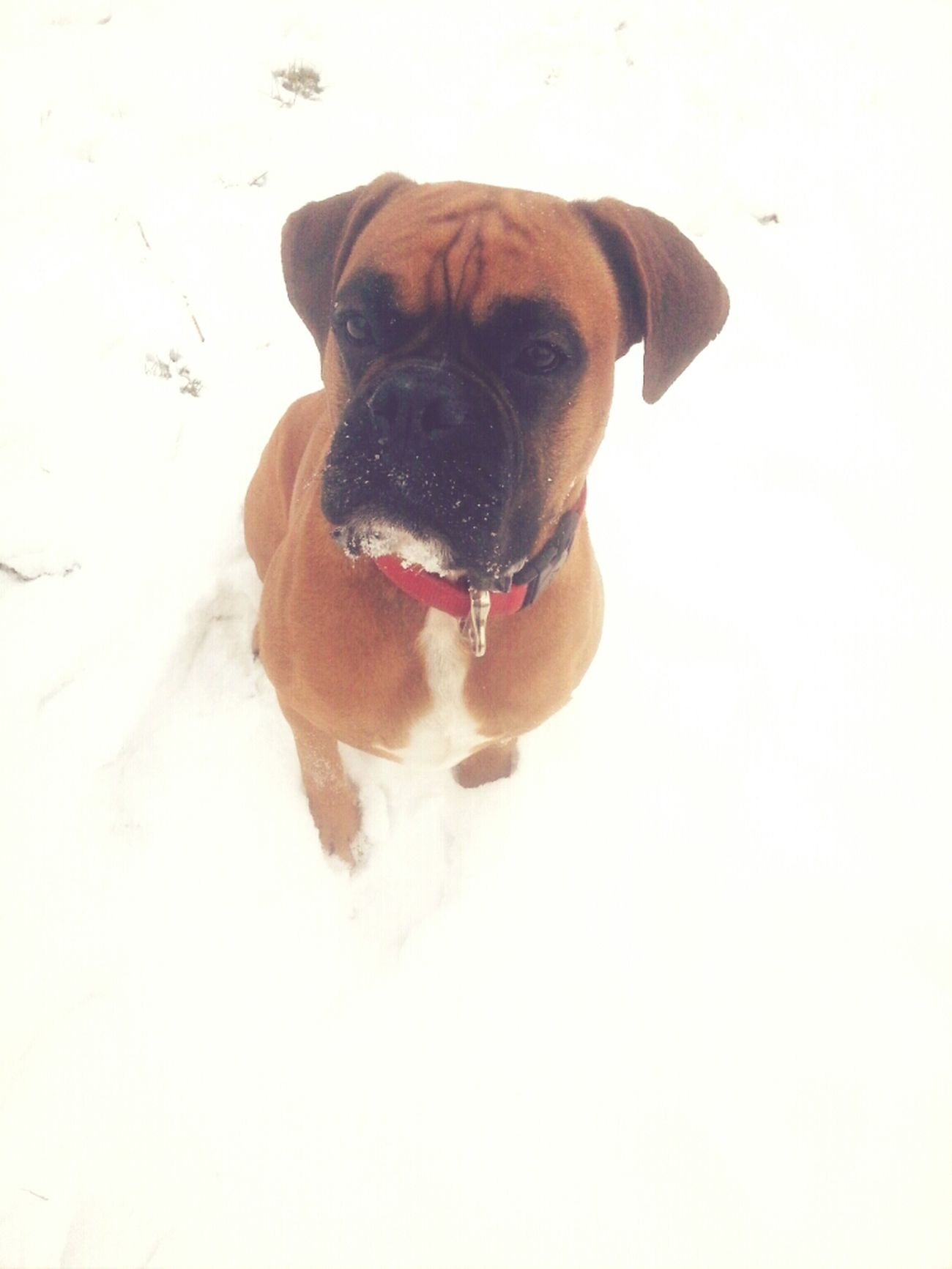 My Dog Is Cooler Than Your Kid. My Dog Is Better Than Your Dog My Sweetie Love Him #playing #in #the #snow