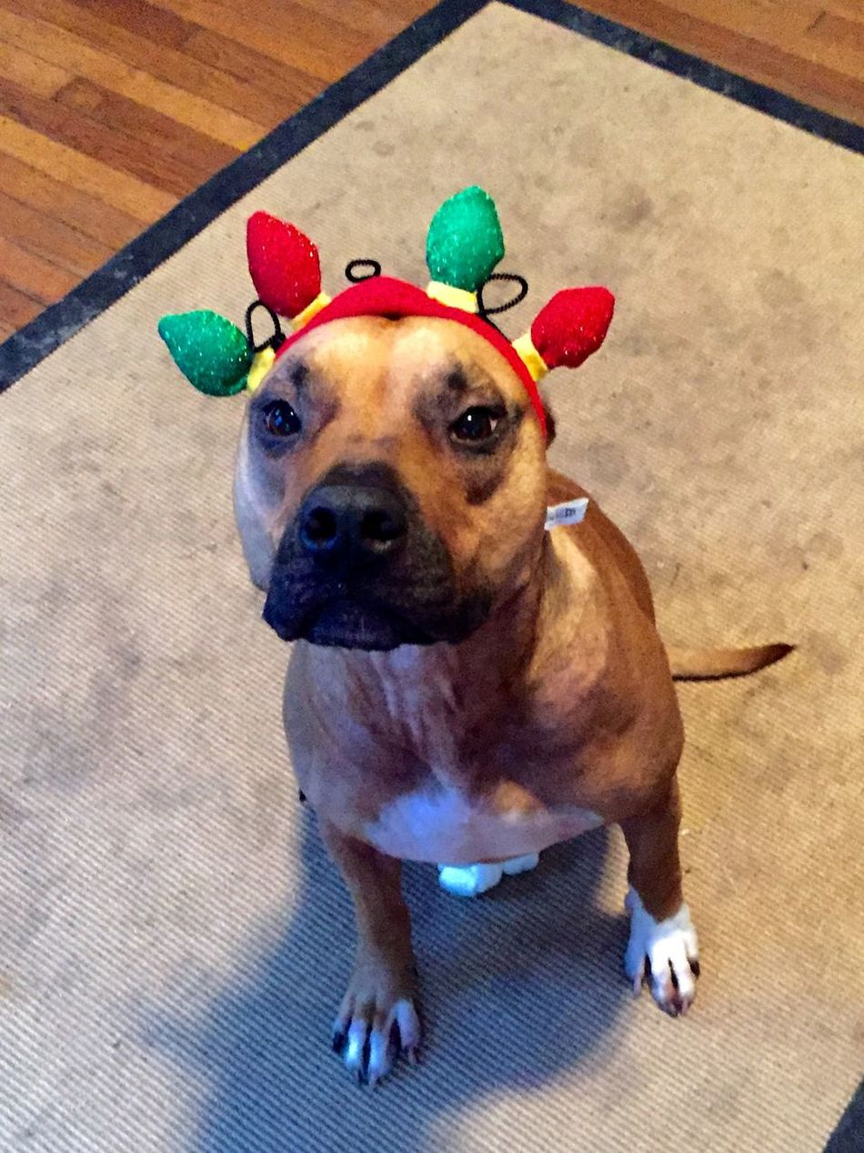 Rufus. Dog. Animal Head  Animal Themes Christmas Around The World Dog Dogs Domestic Animals Looking At Camera One Animal Pets Pitbull Pitbulls Sitting