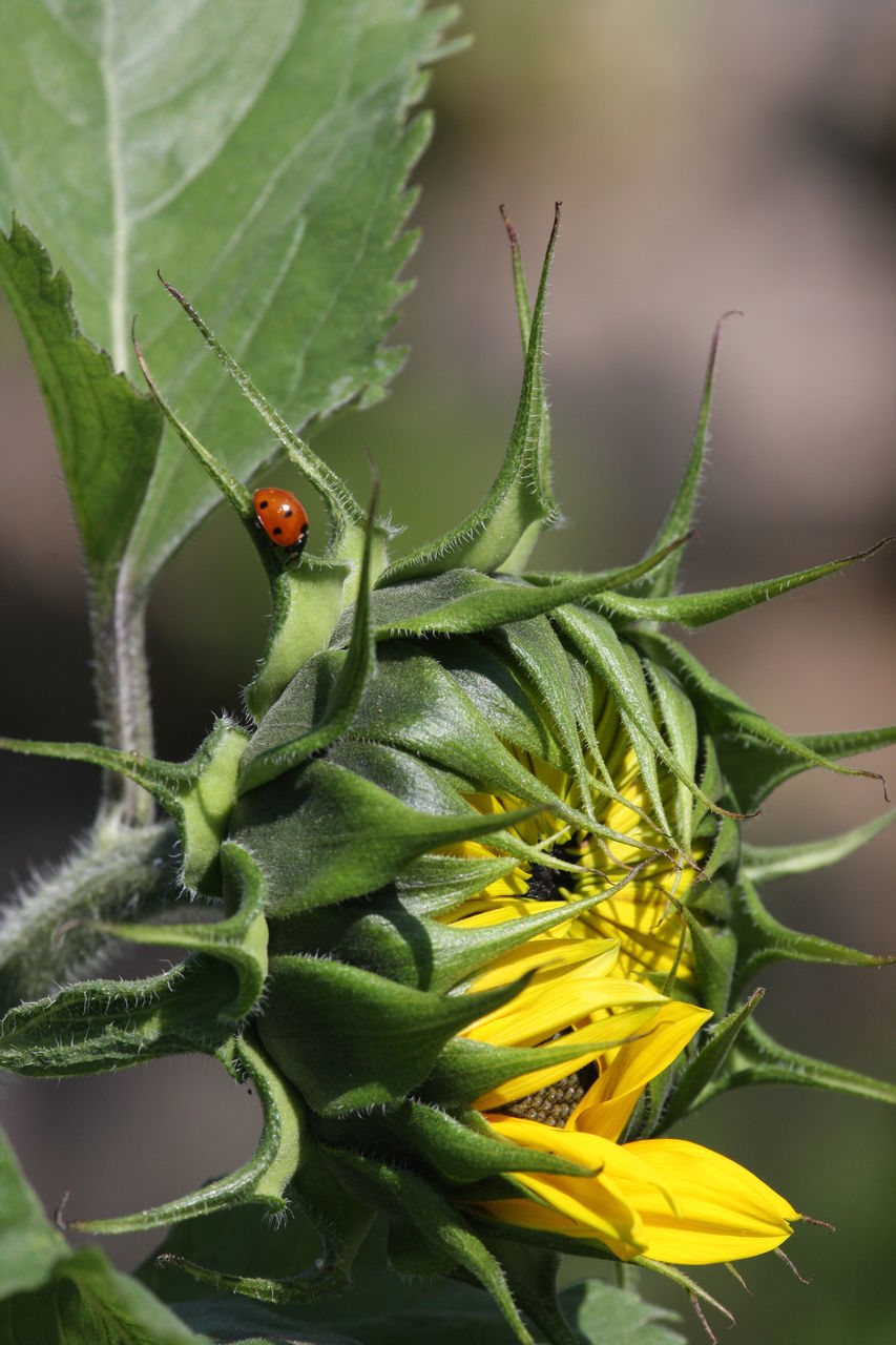 insect, one animal, animals in the wild, animal themes, green color, ladybug, close-up, nature, leaf, no people, plant, outdoors, day, beauty in nature, growth, flower, fragility