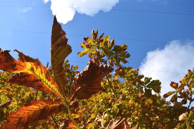 Autumn burn | Growth Plant Leaf Sky Cloud Low Angle View Blue Beauty In Nature Nature Close-up Freshness Botany Cloud - Sky Autumn Autumn Colors Autumn Leaves Countryside Taking Photos Eye4photography  EyeEm Gallery Exploring Outdoors Lookingup Tree Dramatic Angles