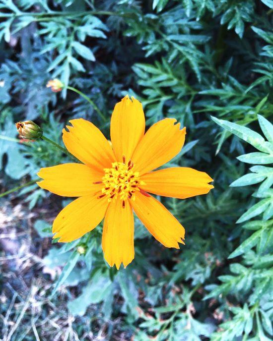 Yellow Flower Flowers Nature EyeEm Nature Lover Naturelovers Beautiful Nature Summertime Taking Photos Flower Collection