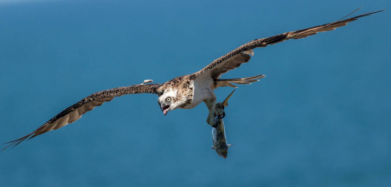 Beautiful stock photos of adler,   Coolum Beach,  Animal Markings,  Animal Themes,  Animal Wildlife