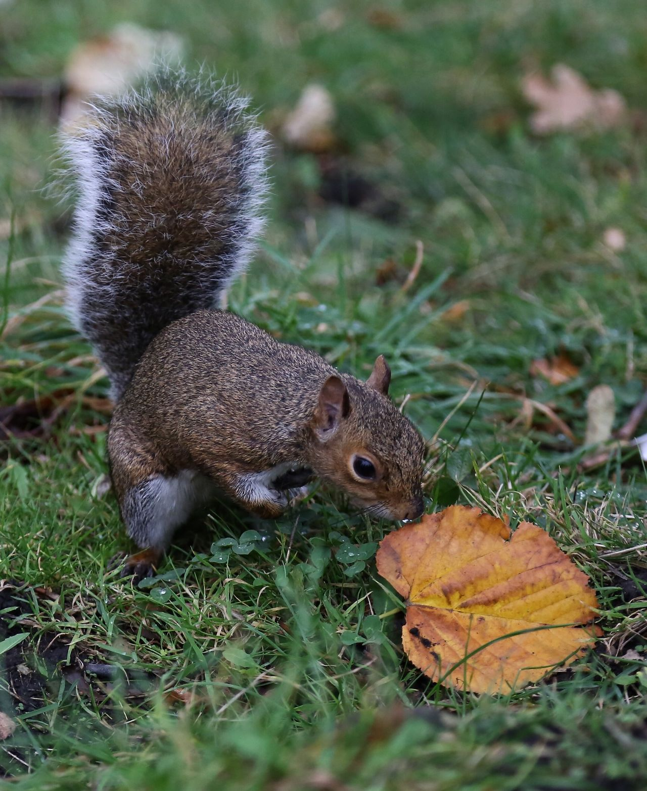 Beautiful stock photos of squirrel, Animal Themes, Animals In The Wild, Autumn, Beauty In Nature