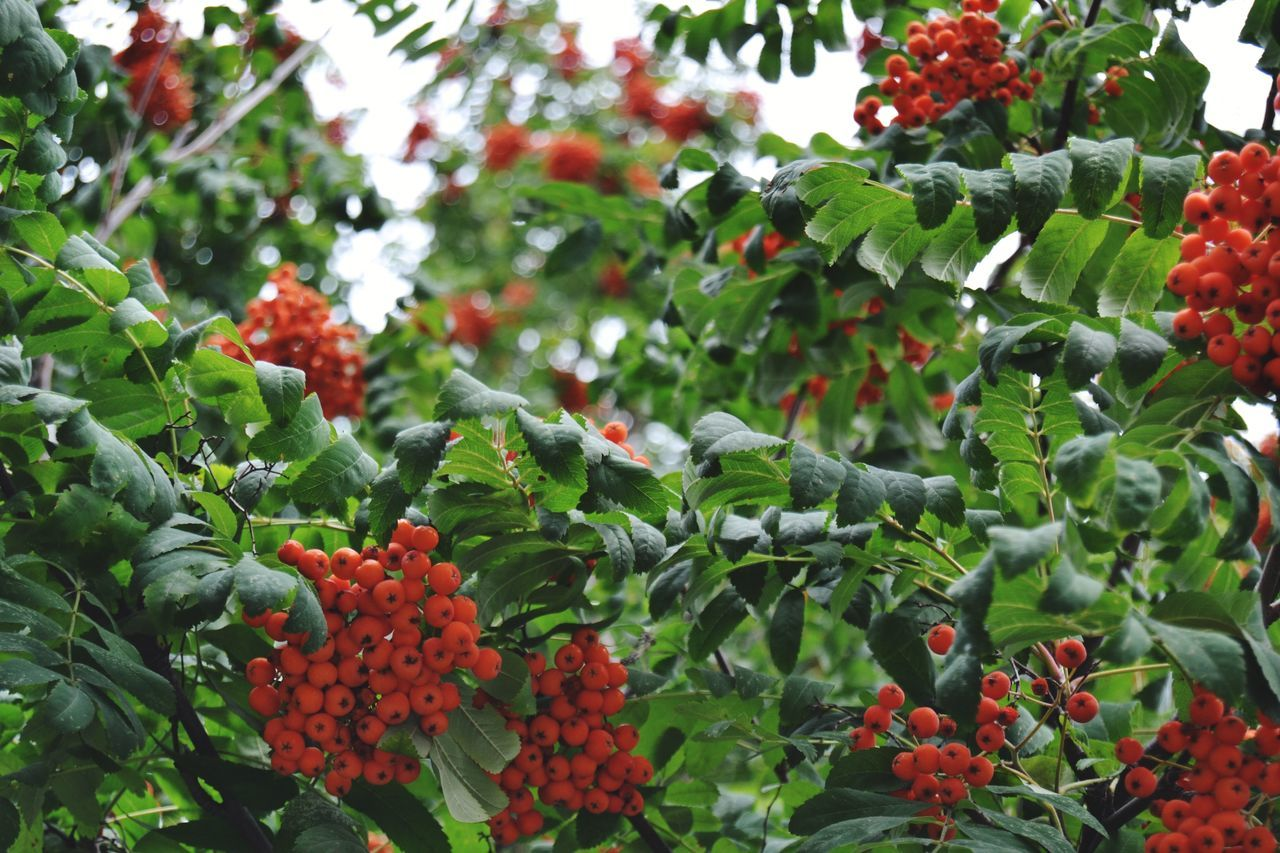 Tree Green Color Nature Red No People Day Plant Outdoors Beauty In Nature Close-up Agriculture Leaf Growth Berrys Berry Trees Rowan Rowanberry Red Color Red Berries Nature Photography Naturelovers Freshness