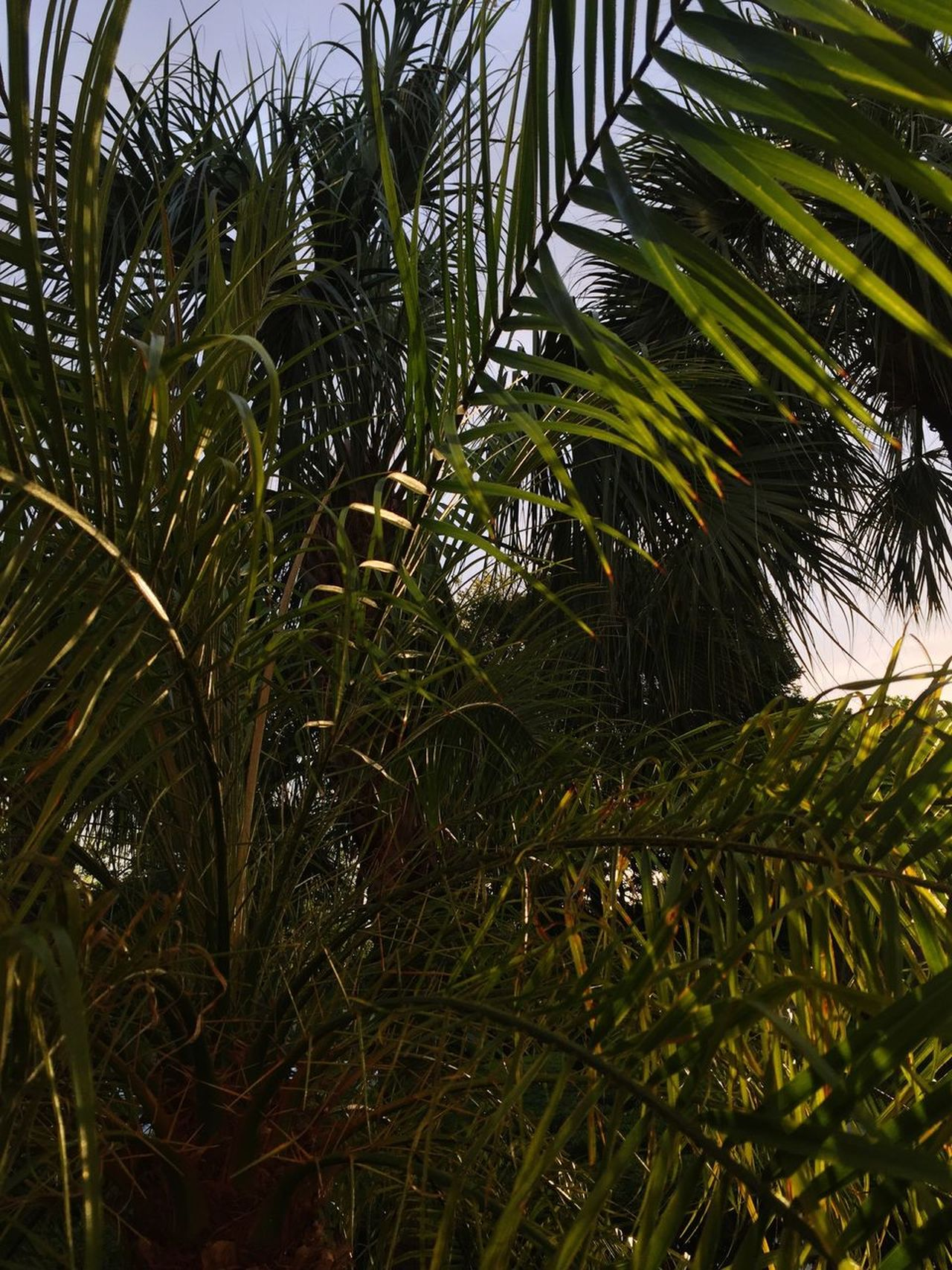 Growth Palm Tree Tree Leaf Nature Green Color Plant No People Agriculture Frond Outdoors Beauty In Nature Day Close-up Freshness The Great Outdoors - 2017 EyeEm Awards EyeEmNewHere