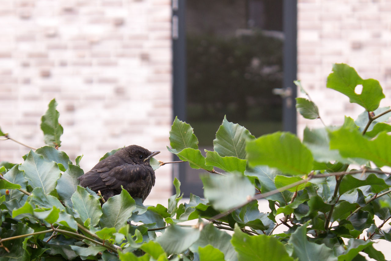 Amselbaby Amsel Animal Themes Animal Wildlife Animals In The Wild Bird Close-up Day Garten Green Color Growth Hecke Leaf Nature No People One Animal Outdoors Perching Plant Sparrow Vogel