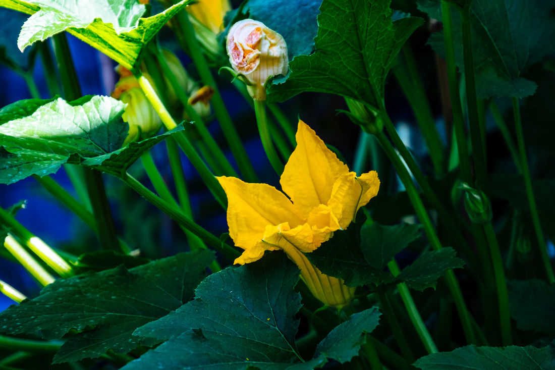 Beauty In Nature Blooming Blossom Close-up Day Flower Flower Head Focus On Foreground Fragility Freshness Green Green Color Growth In Bloom Leaf Nature No People Outdoors Petal Plant Stem Yellow Zucchini Flower Zuchetti Zuchinni