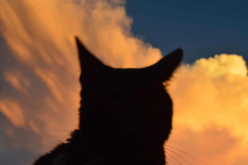 EyeEm Selects One Animal Domestic Cat Animal Themes Sunset Black Color No People Mammal
