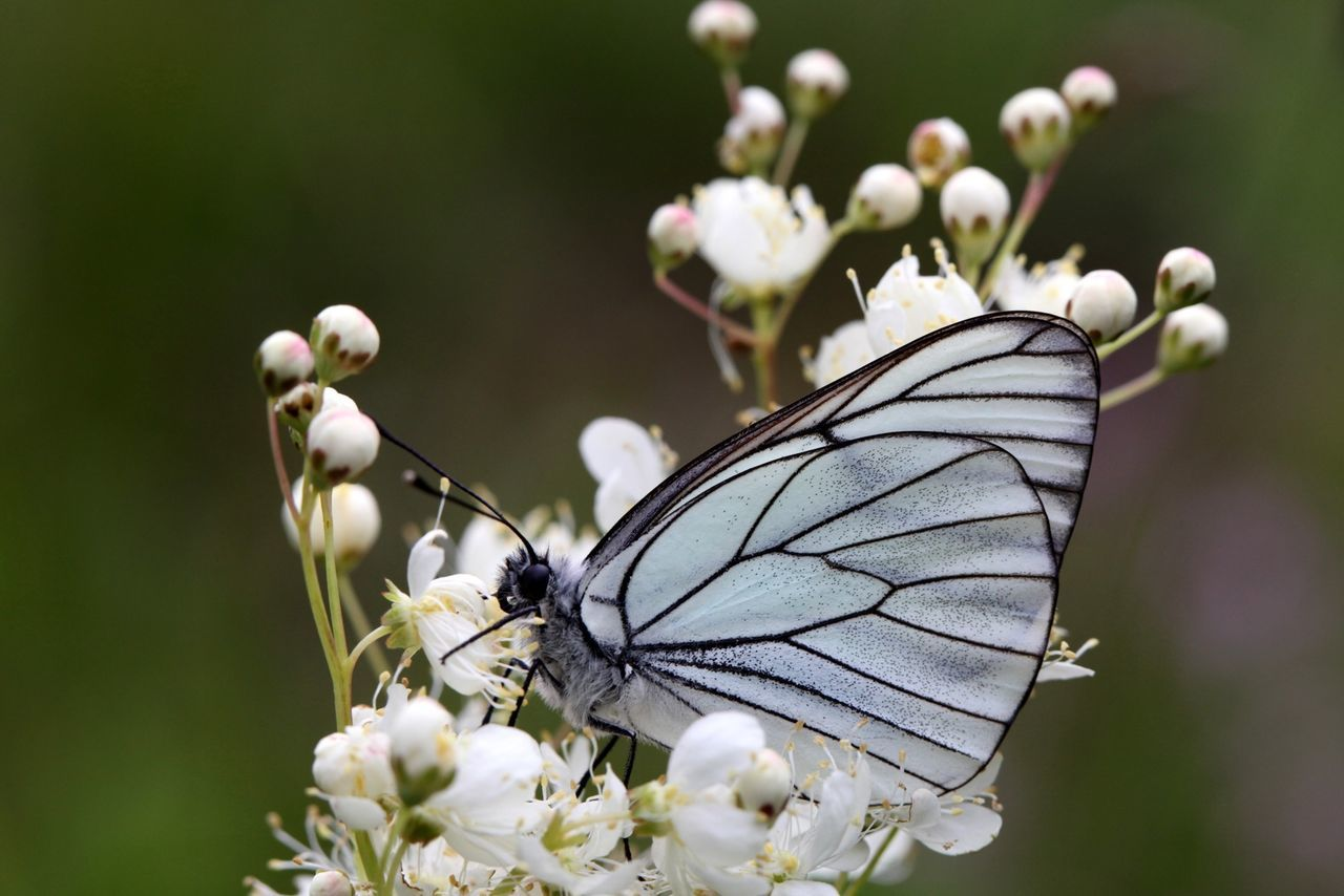 Black-veined White Butterfly Insects  Nature Black-veined White Flowers Macro Animals Close-up Closeup Meadow Garden Detail Eye4photography