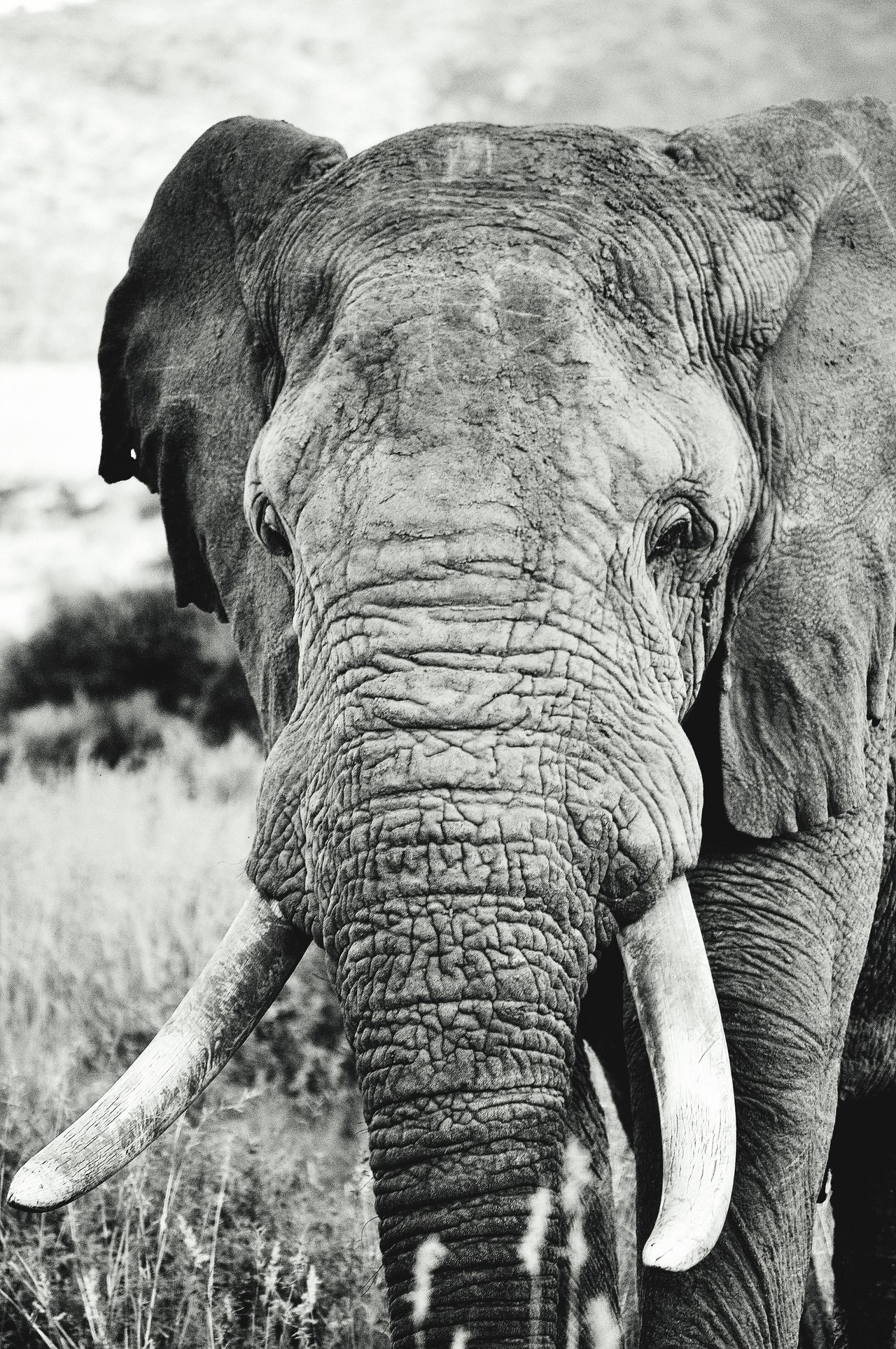 Elephant Africanelephant Black And White Portrait HEAD Safari Safari Animals National Park Animals In The Wild Wildlife & Nature GameDrive Nature_collection Nature Animals Bigfive Tusk South Africa Pilanesberg Nationalpark Wildlife Mammal