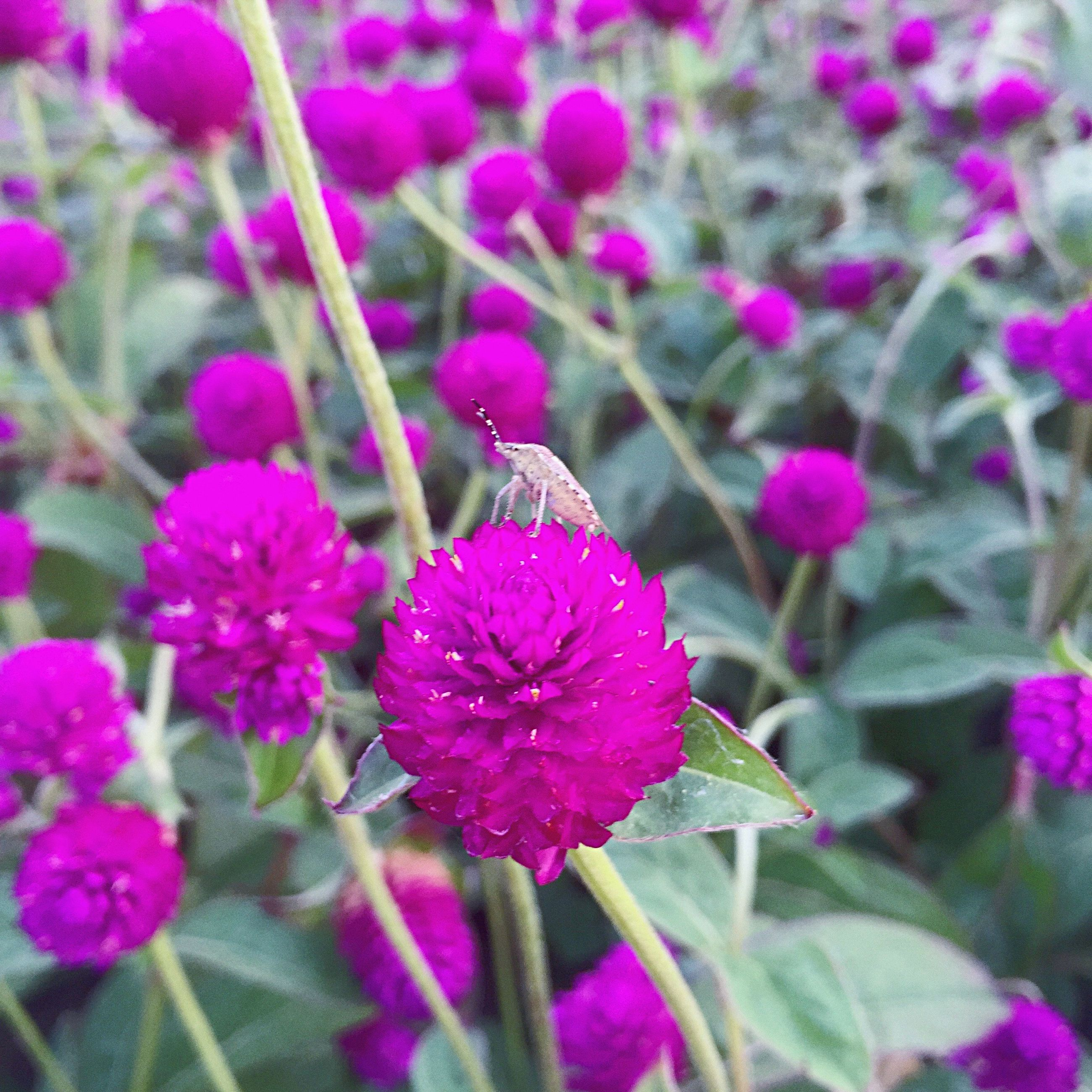 flower, freshness, fragility, growth, beauty in nature, close-up, in bloom, springtime, petal, stem, nature, plant, selective focus, pink color, blossom, botany, flower head, season, backgrounds, purple, focus on foreground, vibrant color, day, softness, full frame, outdoors, pink, soft focus, garden, formal garden
