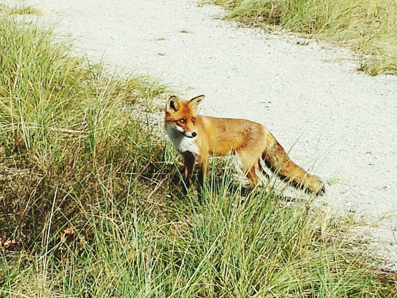 Fox Noordwijk Sand Dunes Fox