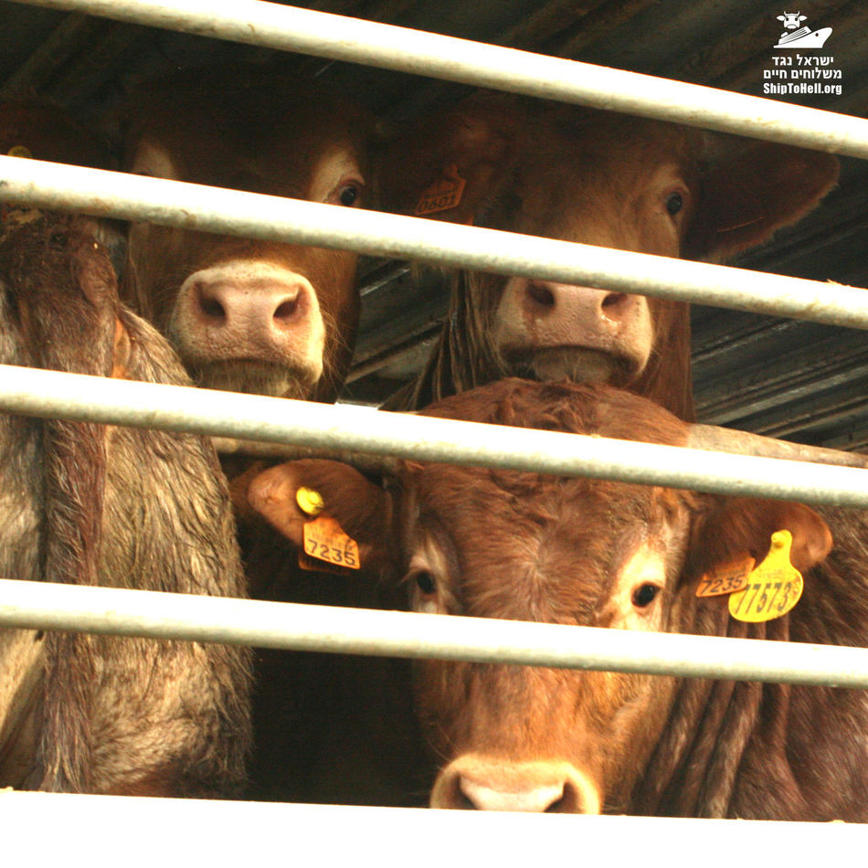 Livestock Close-up Trucks Animals Livestockphotography Suffering Cows Cow Cattle Cruelty Animal Rights Animal Livestock Crowded Fear